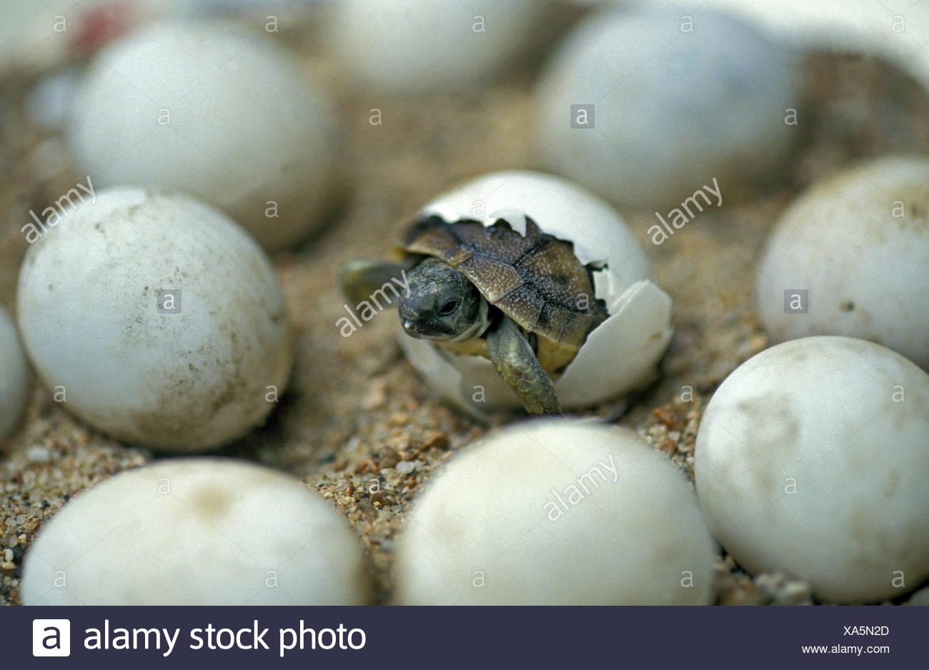 Hermann's Tortoise, testudo hermanni, Baby Hatching from Egg - Stock Image
