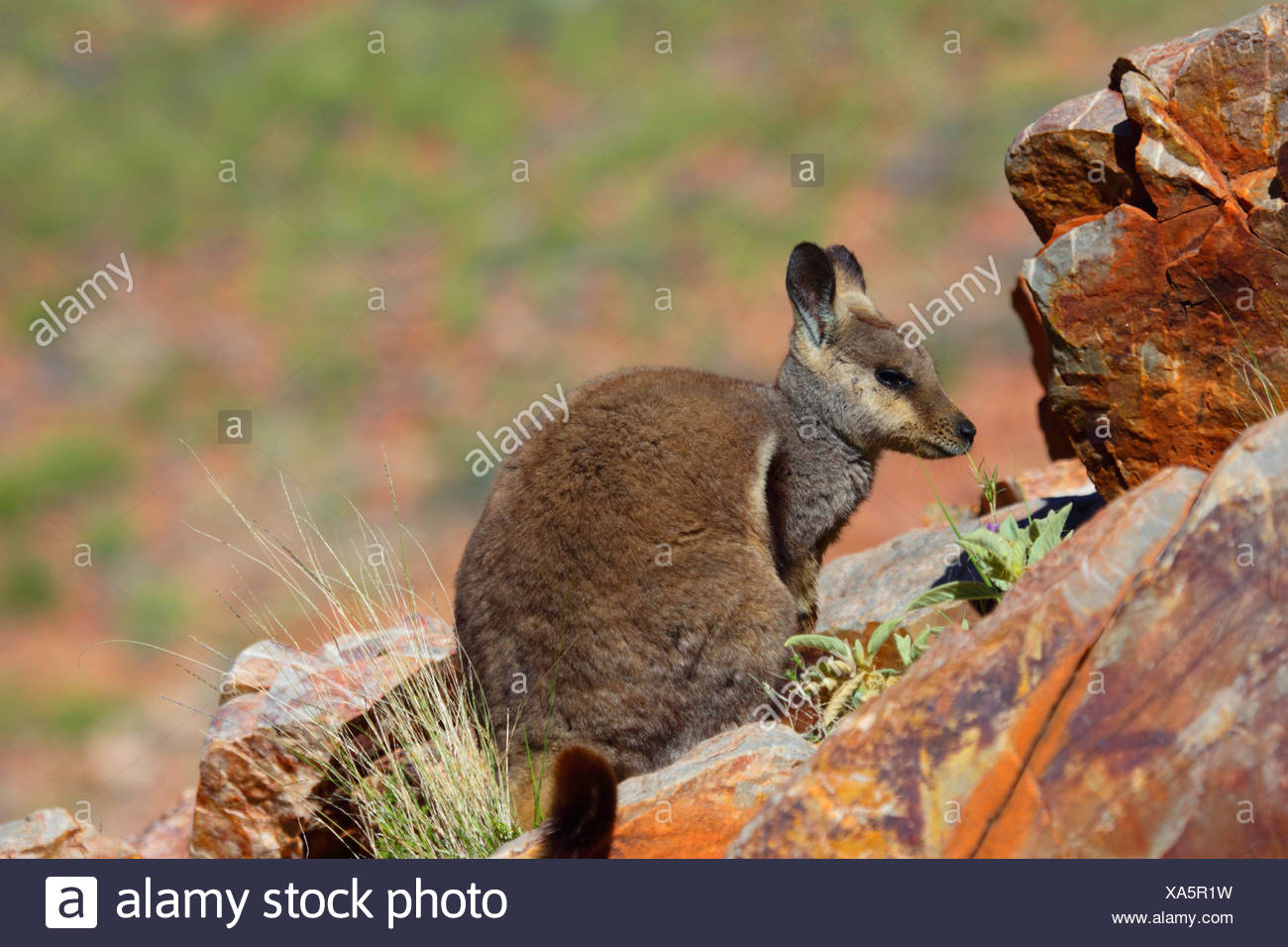 Black-footed rock wallaby (Petrogale lateralis), sitting on rocks, Australia, Northern Territory, Western MacDonnell Ranges, Ormiston Gorge - Stock Image