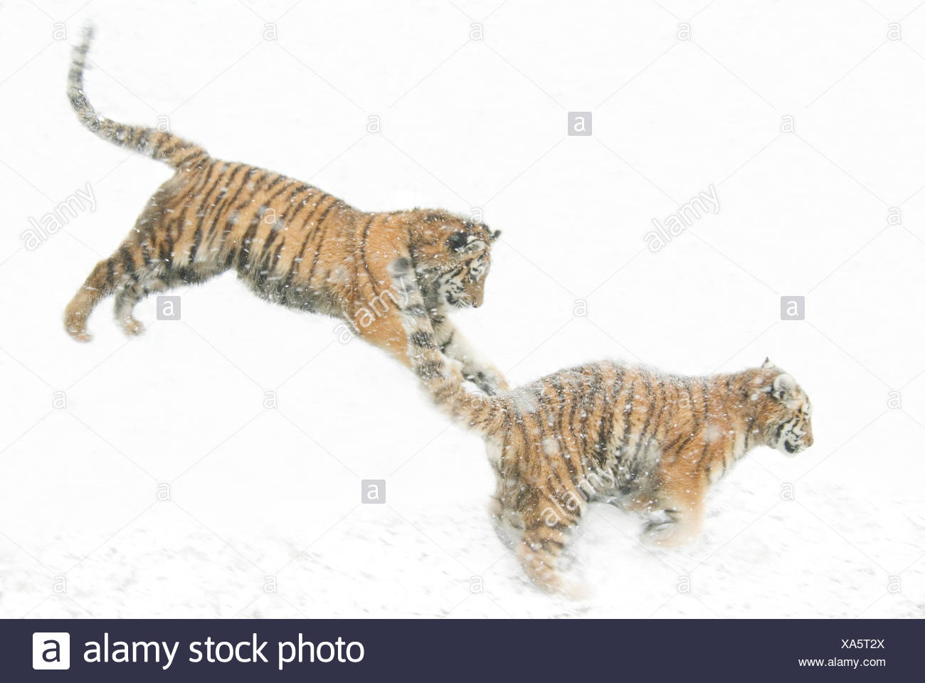 Two Siberian tigers {Panthera tigris altaica} leaping in snow, captive - Stock Image