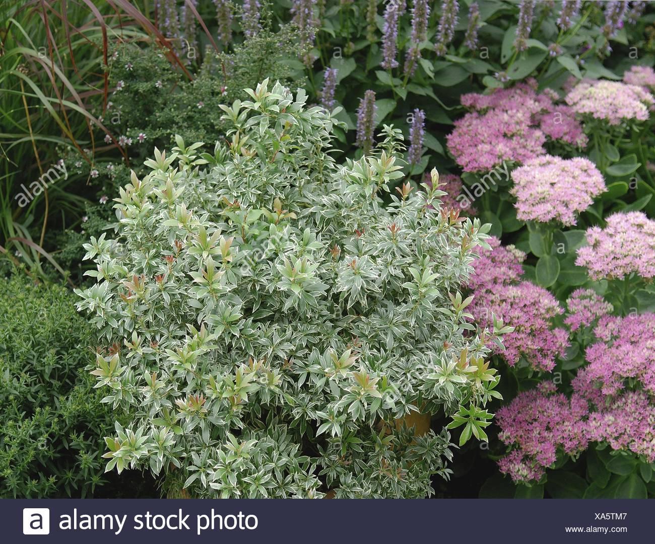Japanese pieris (Pieris japonica 'Little Heath', Pieris japonica Little Heath), cultivar Little Heath - Stock Image