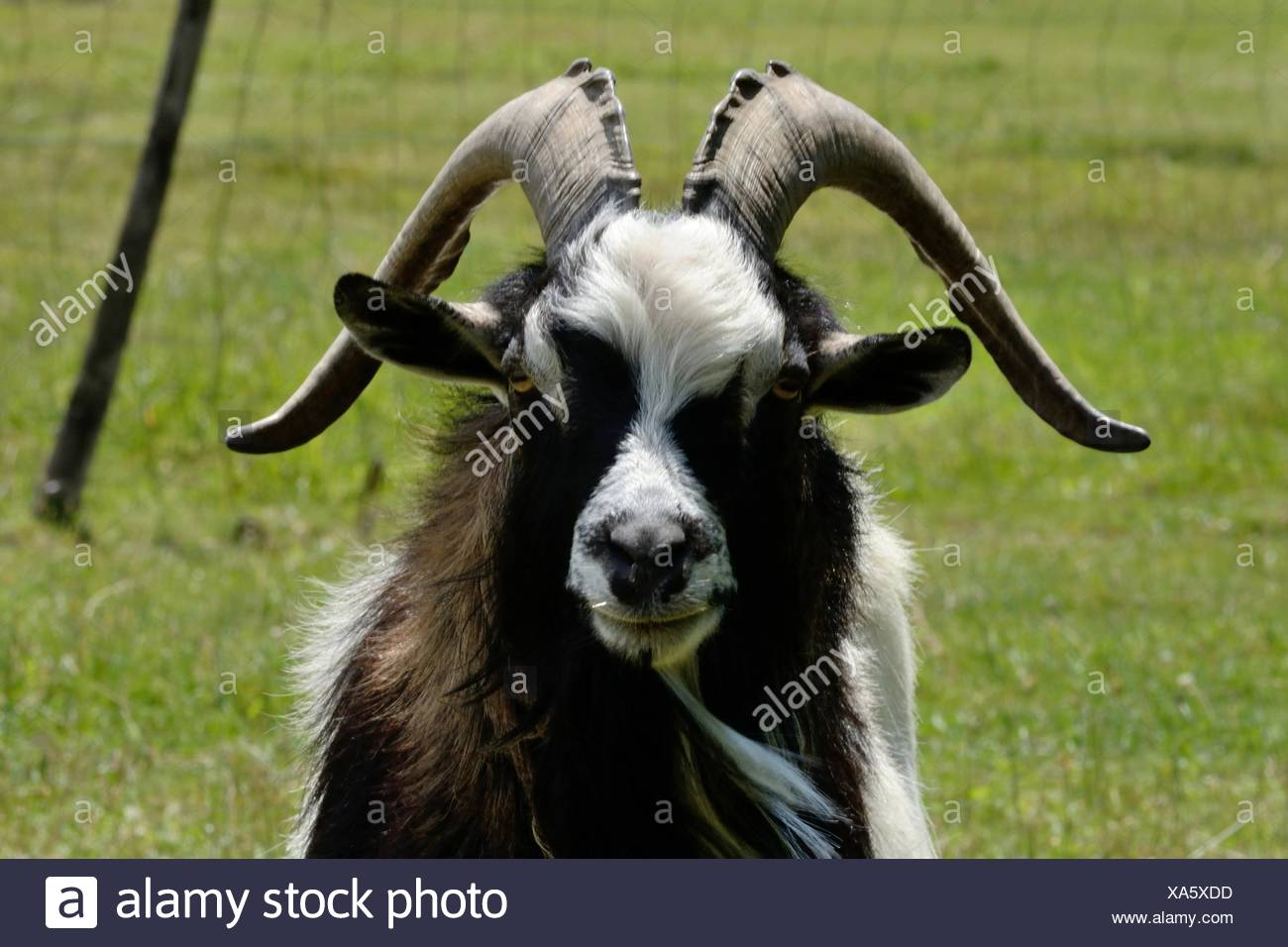 Aries imposing front of the camera - Stock Image