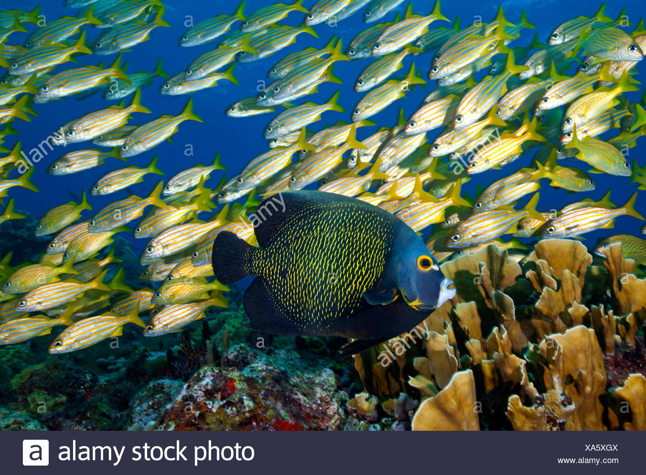 French Angelfish (Pomacanthus paru) with a Smallmouth Grunt (Haemulon chrysargyreum) and Blade Fire Coral (Millepora complanata). Cancun National Park, Caribbean Sea, Mexico. - Stock Image