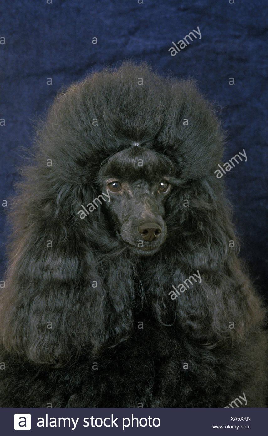 Black Miniature Poodle, Portrait of Dog - Stock Image