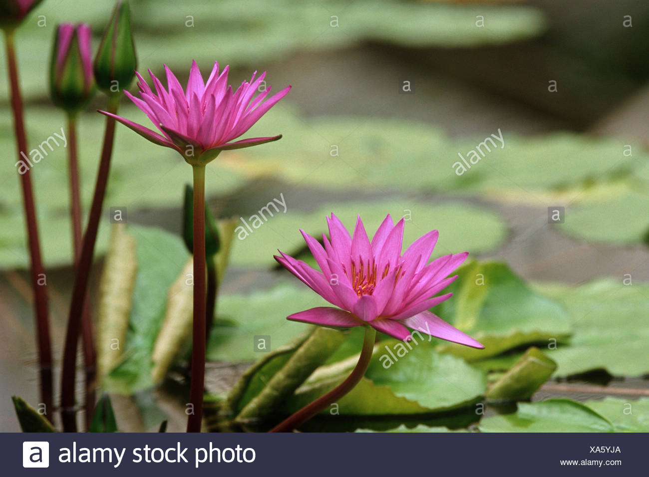 water lily, pond lily (Nymphaea 'Director George T. Moore', Nymphaea Director George T. Moore), Director George T. Moore, blooming - Stock Image