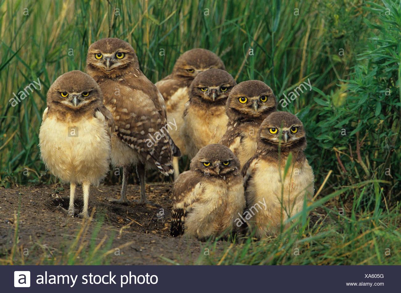Burrowing owl (Athene cunicularia) chicks at nest burrow near Grasslands National Park, Saskatchewan, Canada - Stock Image