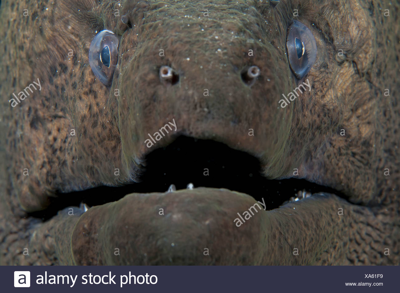 Giant Moray Eel Portrait, Egypt (Gymnothorax javanicus) - Stock Image