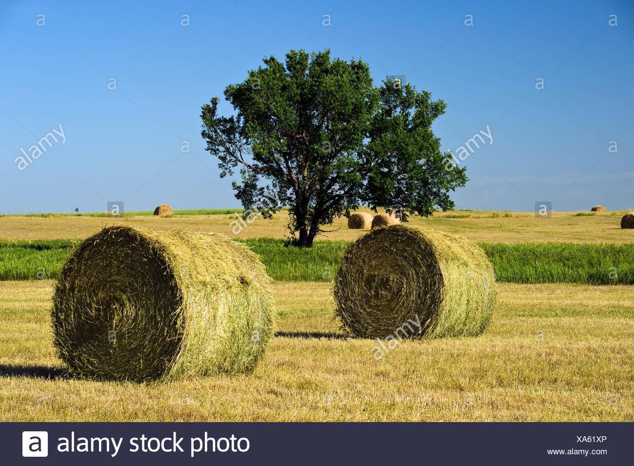 Hay rolls and tree. Near Estevan, Saskatchewan, Canada - Stock Image