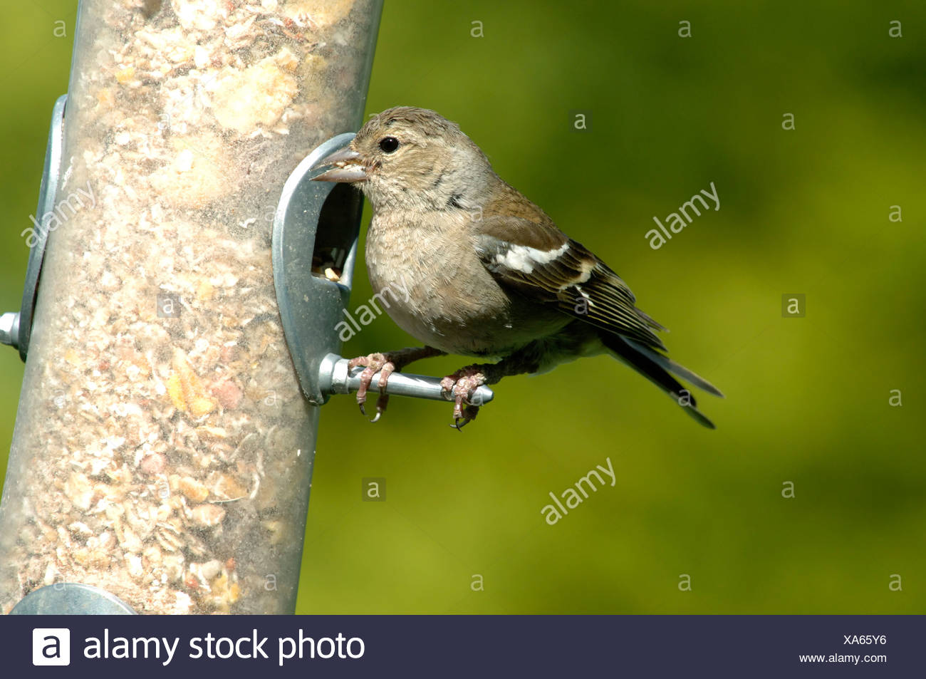 A female chaffinch Fringilla coelebs on a bird seed feeder in summer - Stock Image