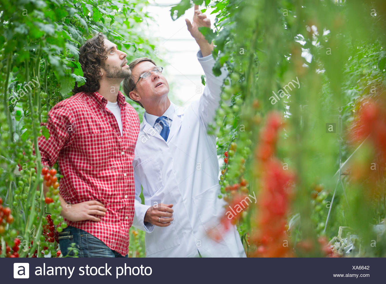 Food scientist and grower looking up inspecting tomato plants in greenhouse - Stock Image