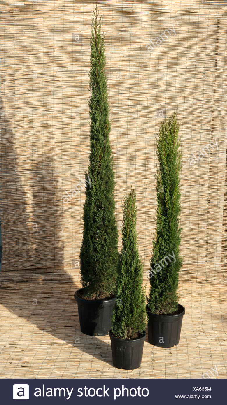cupressus sempervirens pyramidalis stock photos. Black Bedroom Furniture Sets. Home Design Ideas