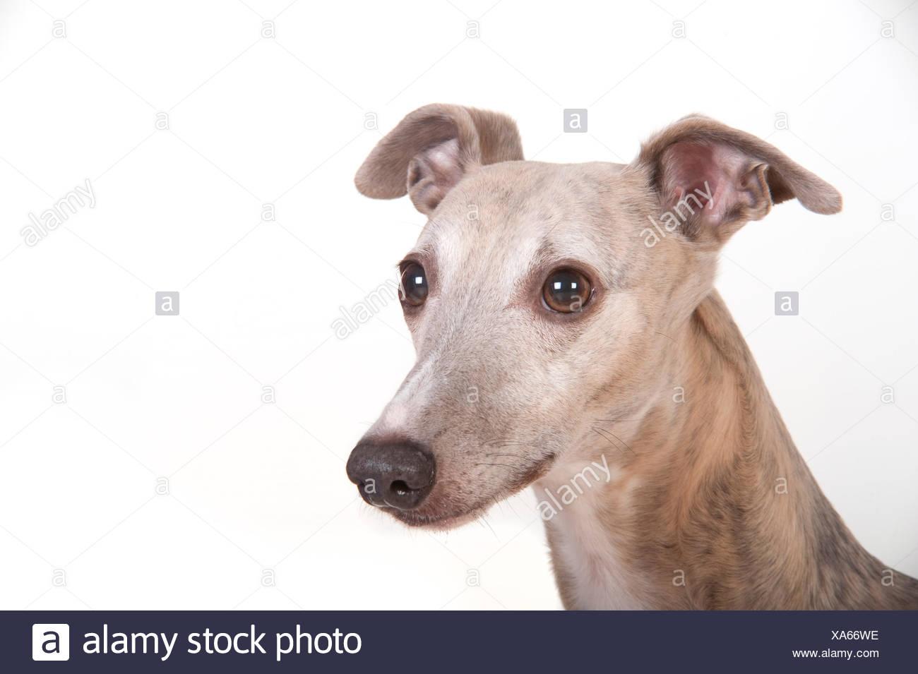 adfe957114abb Whippet Dog Head Stock Photos   Whippet Dog Head Stock Images - Alamy