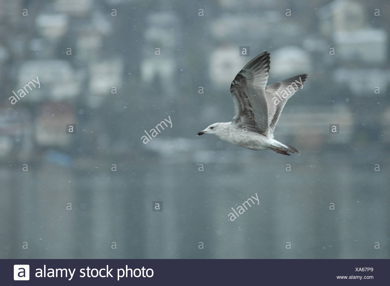 gull in flug1 - Stock Image