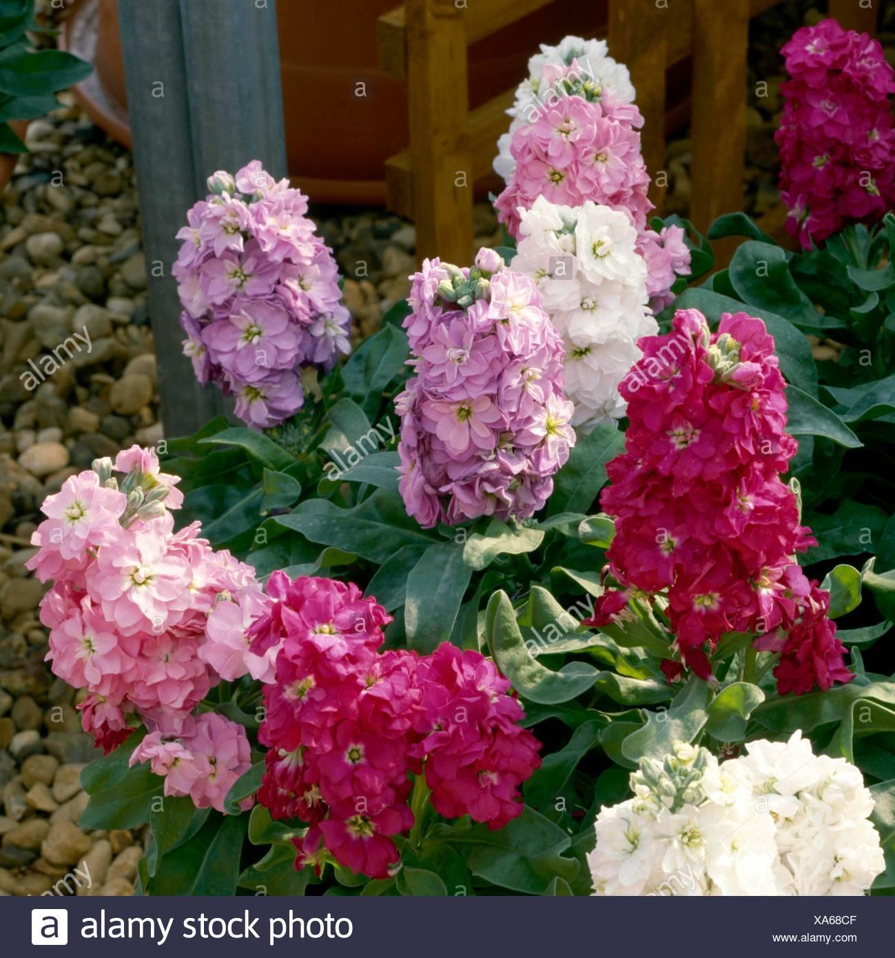 Cinderella Hot Pink Flower 50 Seeds Stock Matthiola Incana