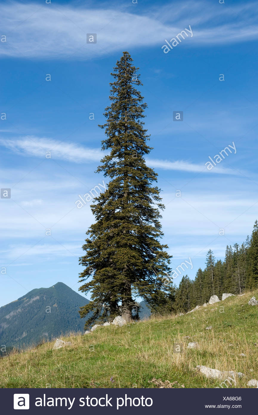 Norway spruce (Picea abies), solitary free-standing old, big and tall tree, Soin-Alm alpine pasture and Mt. Grosser Traithen in - Stock Image