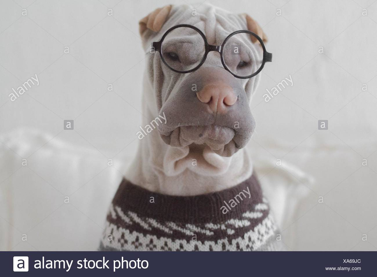 Portrait of a shar pei dog looking intellectual Stock Photo