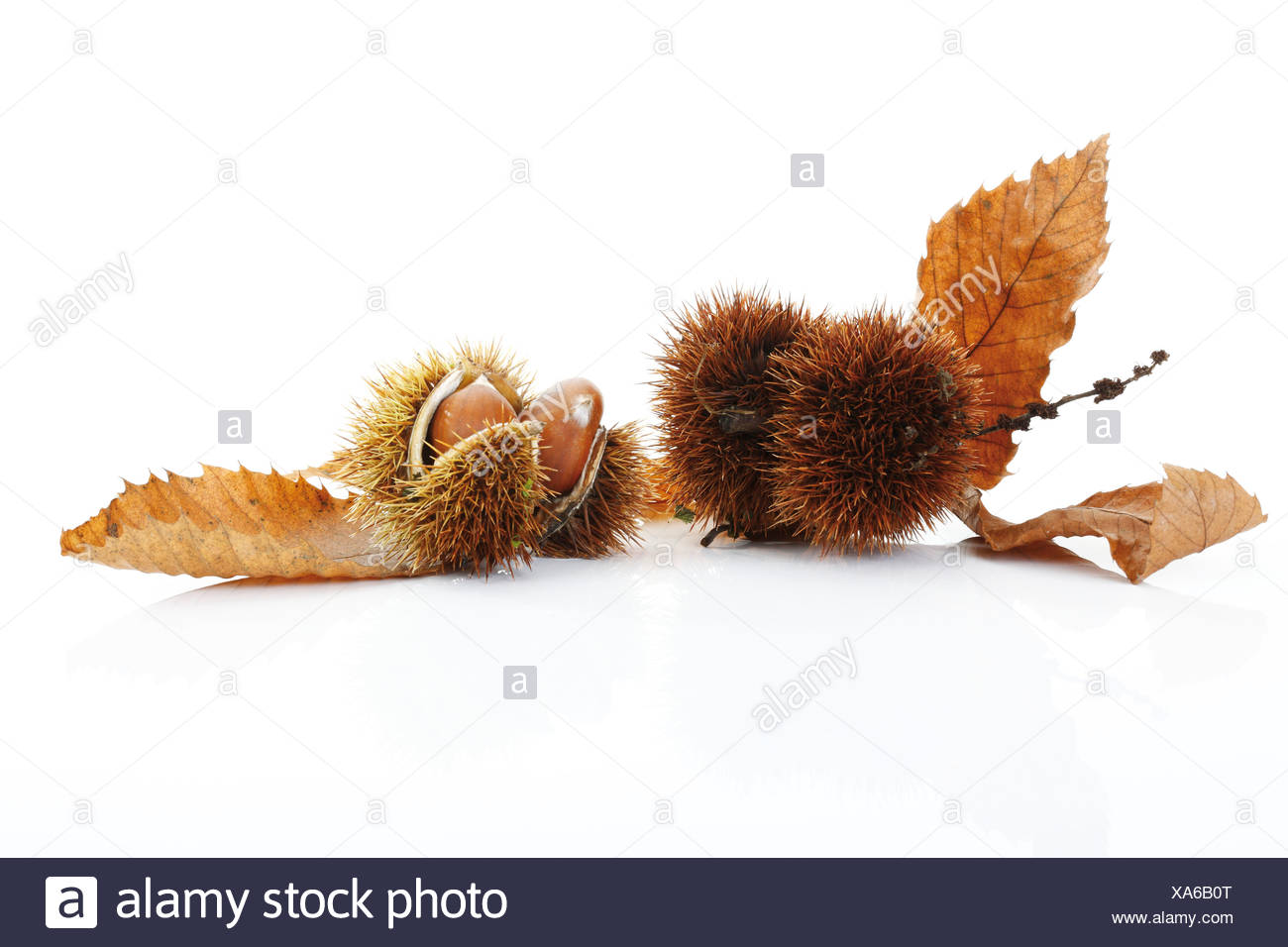 Sweet Chestnuts and leaves Stock Photo
