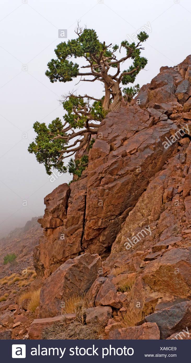 cypress (Cupressus spec.), rock with Pine tree , Morocco, Souss-Massa-Dara�, Djebel Sarhro - Stock Image