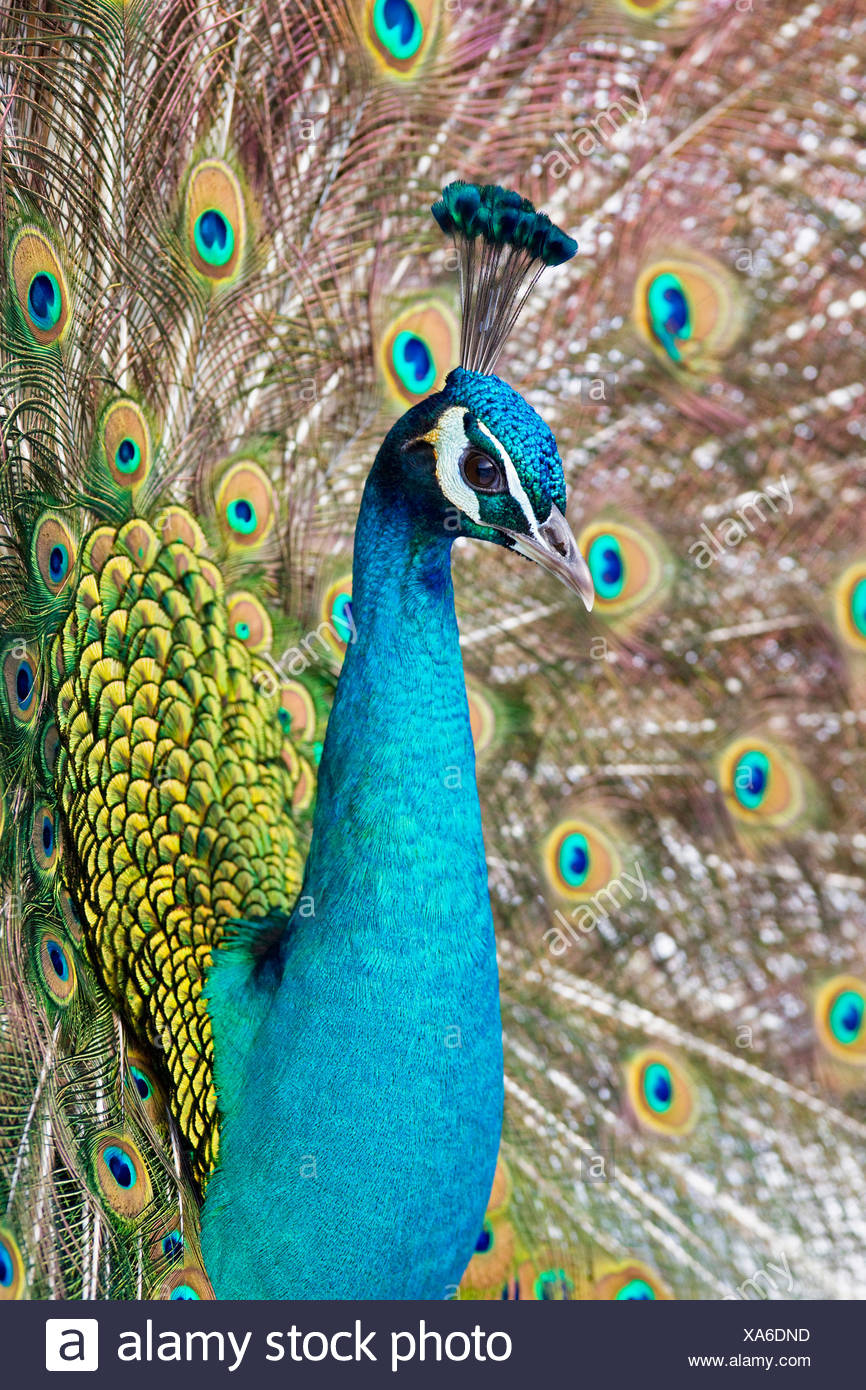 Germany, Bavaria, Close up of indian peacock - Stock Image