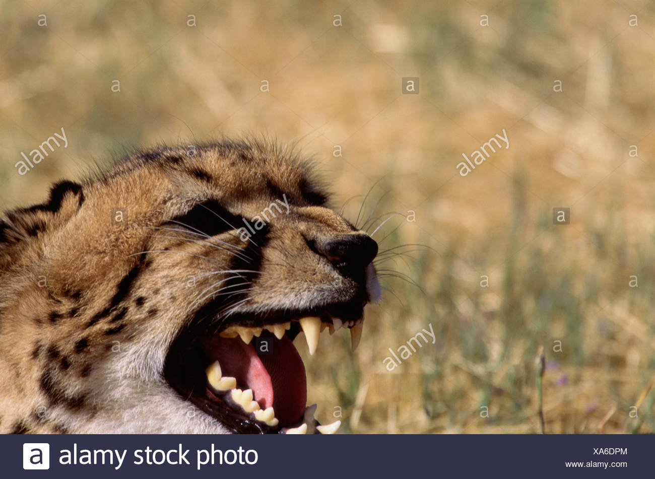 Close-up of a cheetah snarling (Acinonyx jubatus) - Stock Image