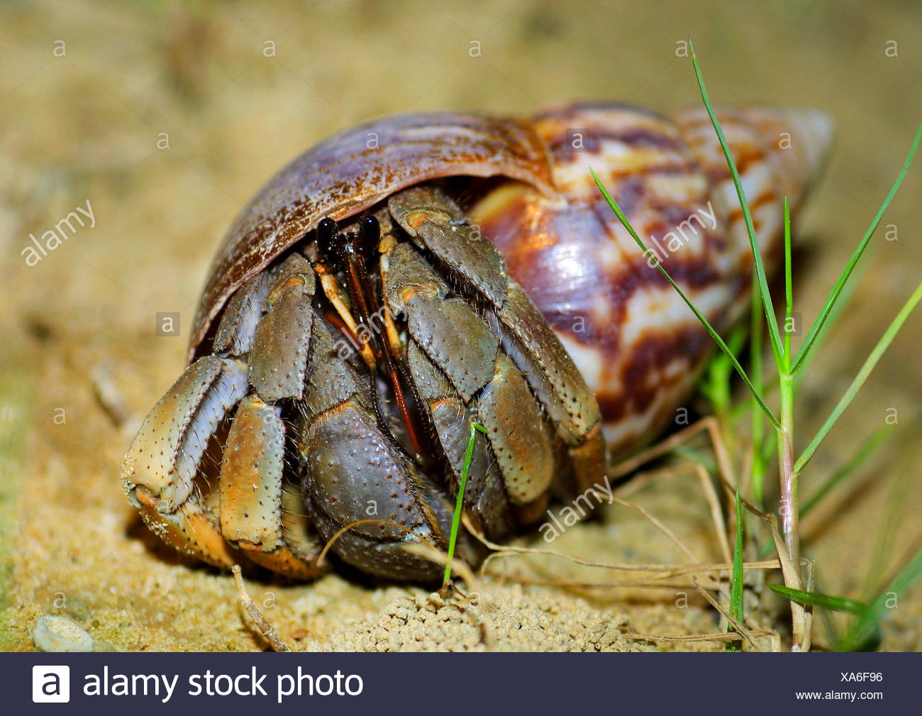 large hermit crab, common hermit crab, soldier crab, soldier hermit crab, Bernhard's hermit crab (Pagurus bernhardus, Eupagurus bernhardus), on the ground - Stock Image