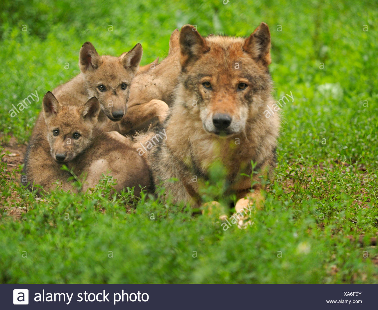 European gray wolf (Canis lupus lupus), wolf with pups, Germany, Bavaria - Stock Image
