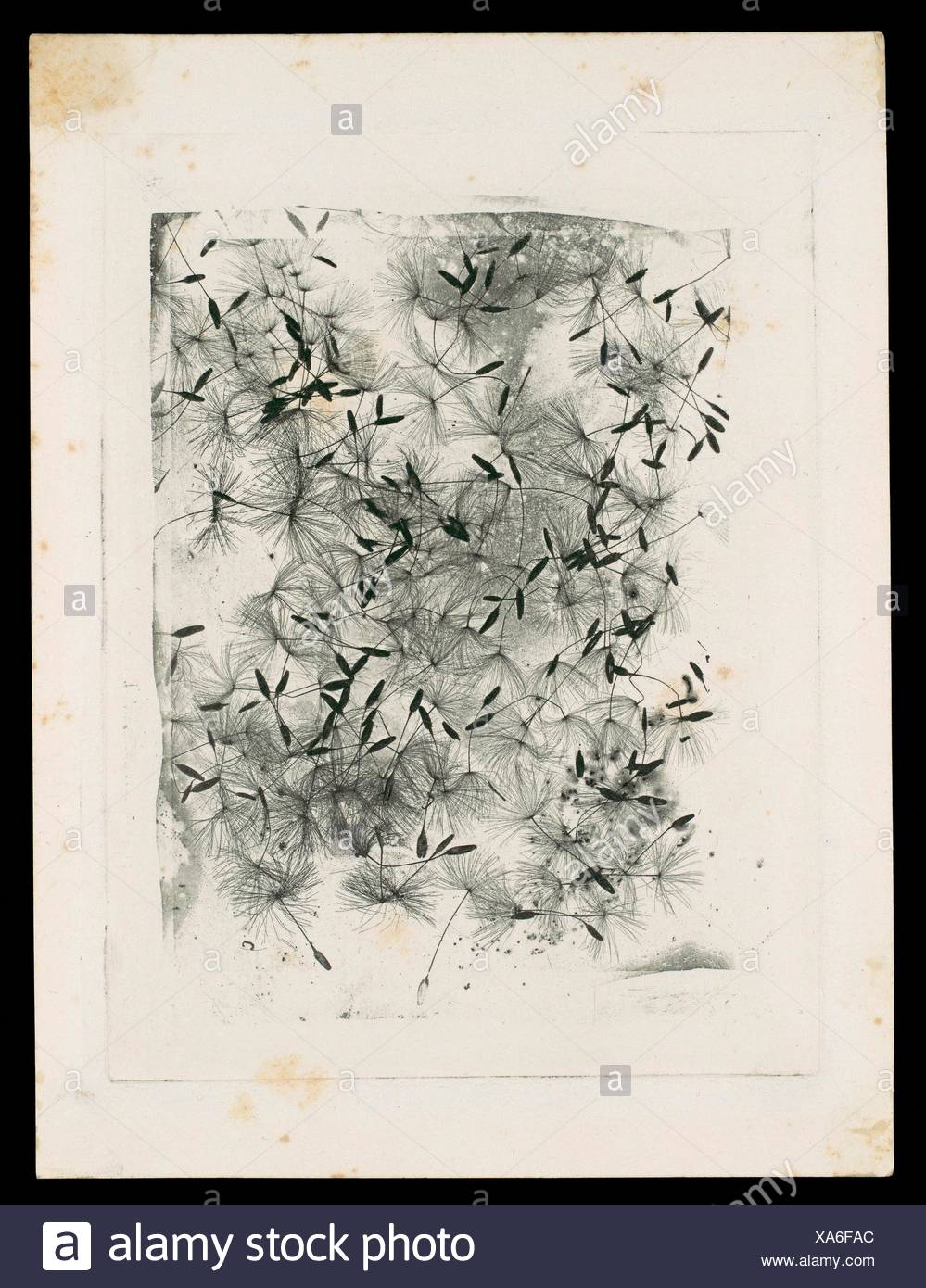 What Fox Talbot Could Have Done With >> Dandelion Seeds Artist William Henry Fox Talbot British Dorset