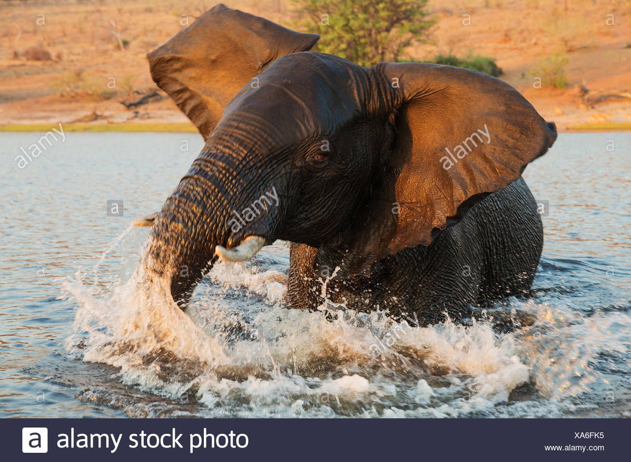 African Elephant (Loxodonta africana), bull in the Chobe River gets angry at the very near boat with the photographer - Stock Image