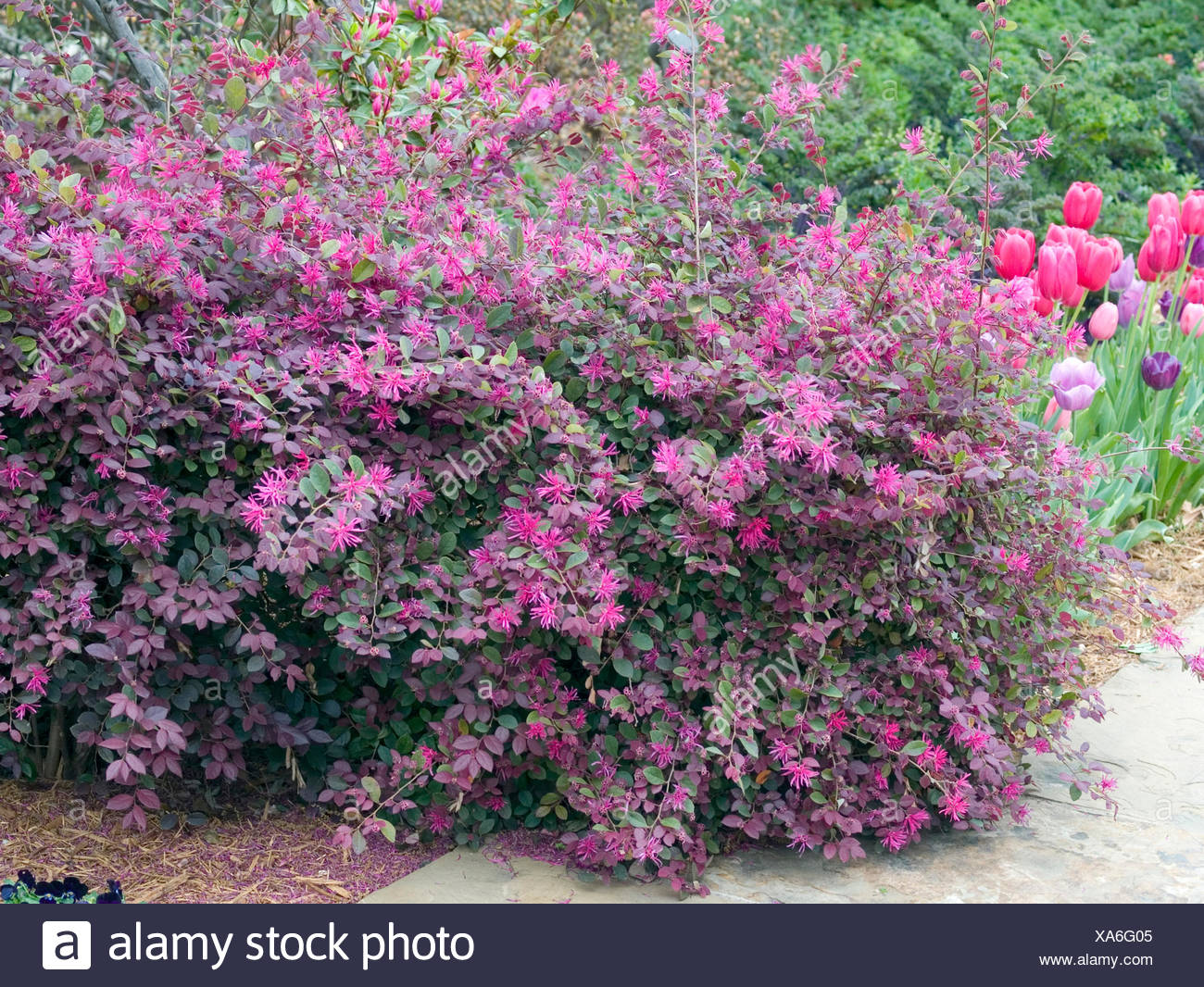 Loropetalum Purple Majesty Wwwtopsimagescom
