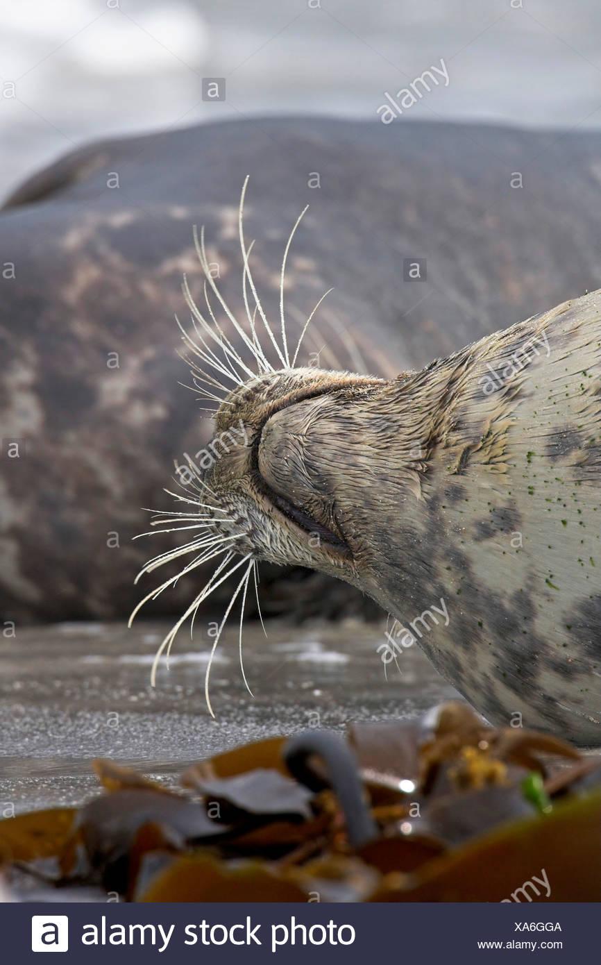 gray seal (Halichoerus grypus), whiskers, Germany, Schleswig-Holstein, Heligoland Stock Photo