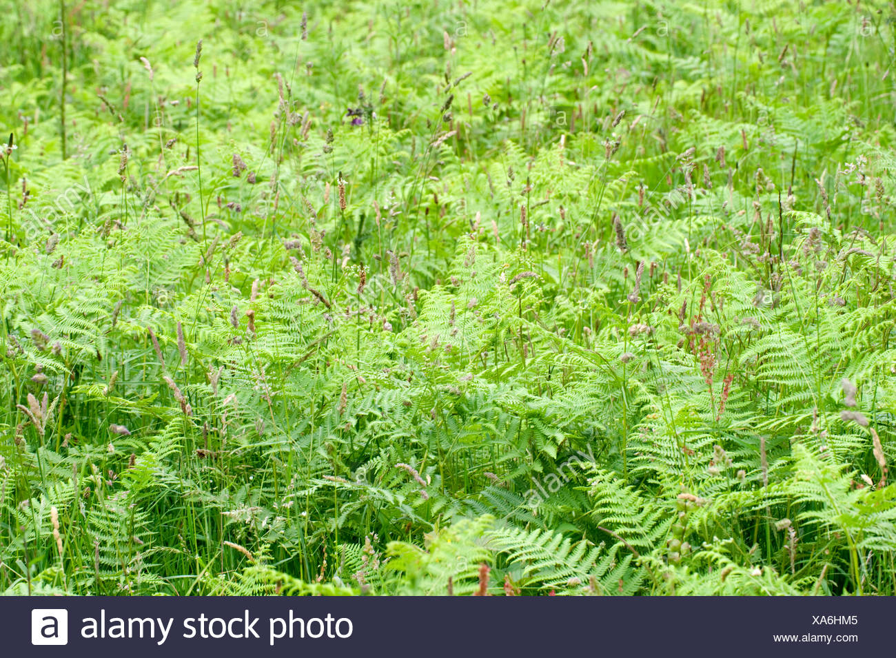 Fern Bracken Leaves, Cowden Pastures, Kent UK - Stock Image