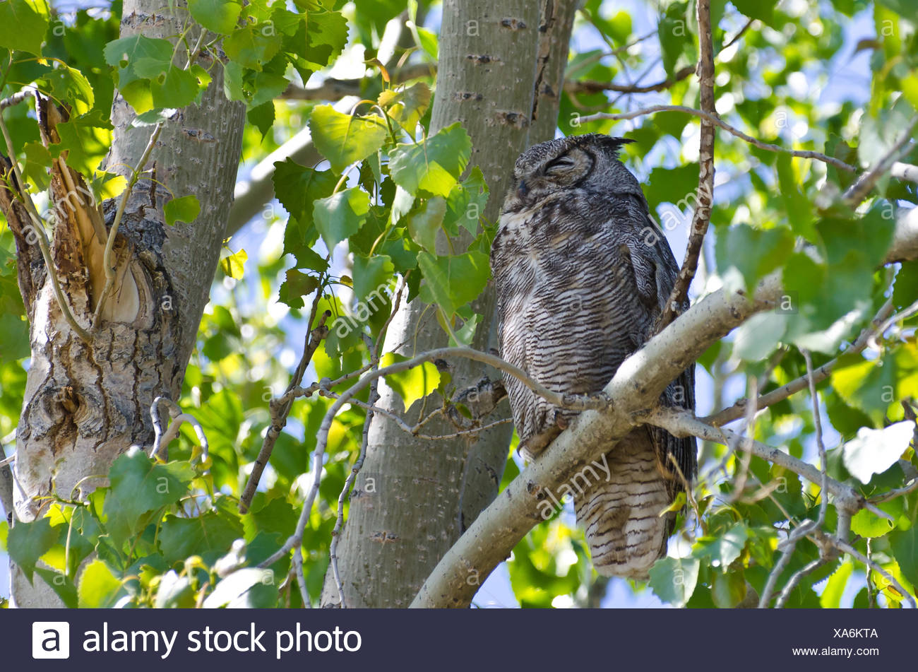 Great Horned Owl Perched on a Branch in a Tree Stock Photo