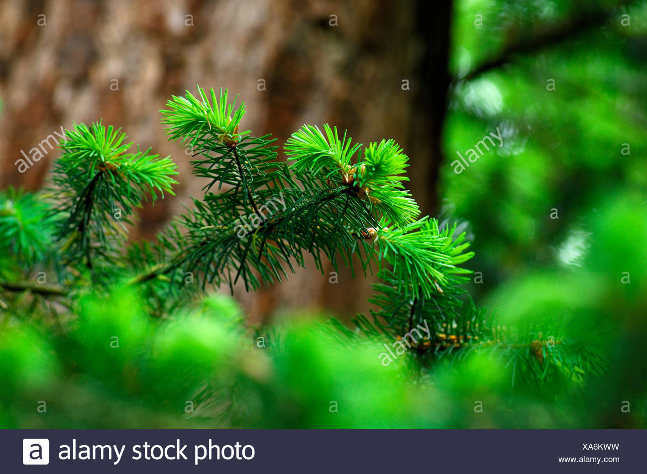 Budding branches of Douglas-fir in close-up - Stock Image