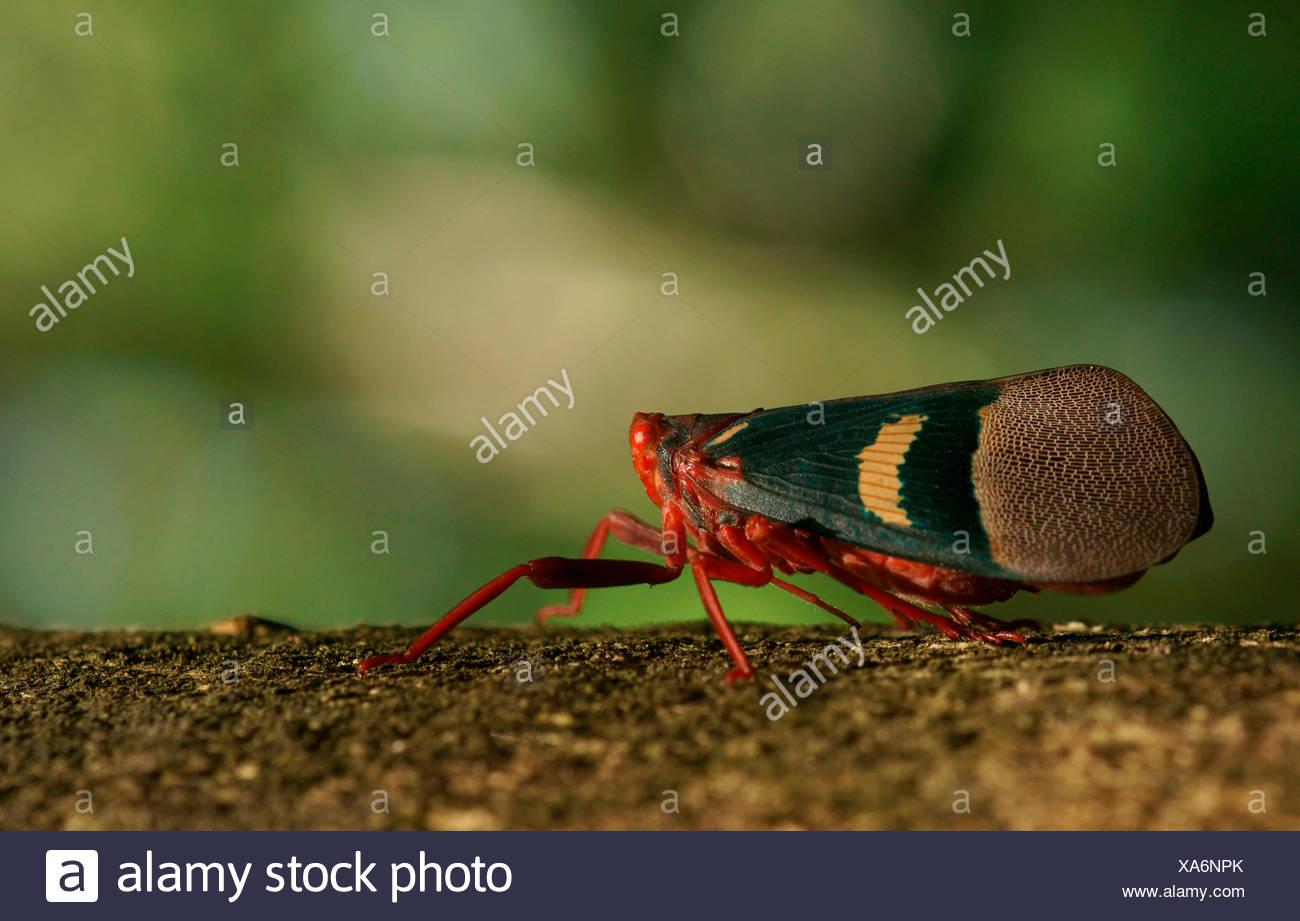 Lantern Bug (Scamandra tethis), Tangkoko Batuangus Nature Reserve, Sulawesi, Indonesia Stock Photo