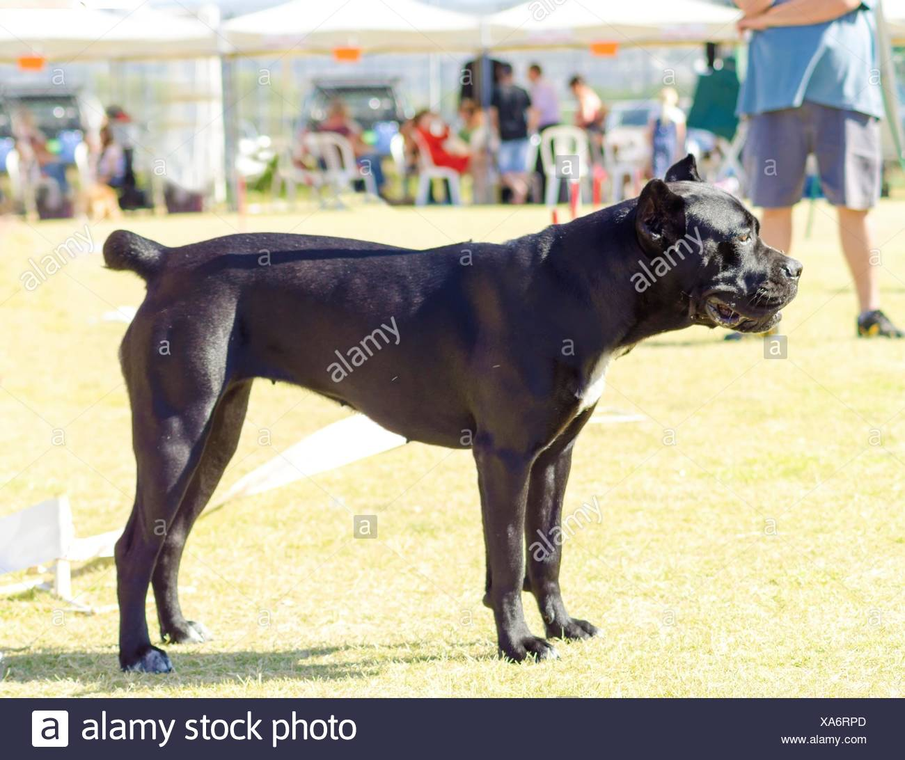 Italian English Animsld: Mastiff Sitting Dog Lying The English Mastiff Stock Photos
