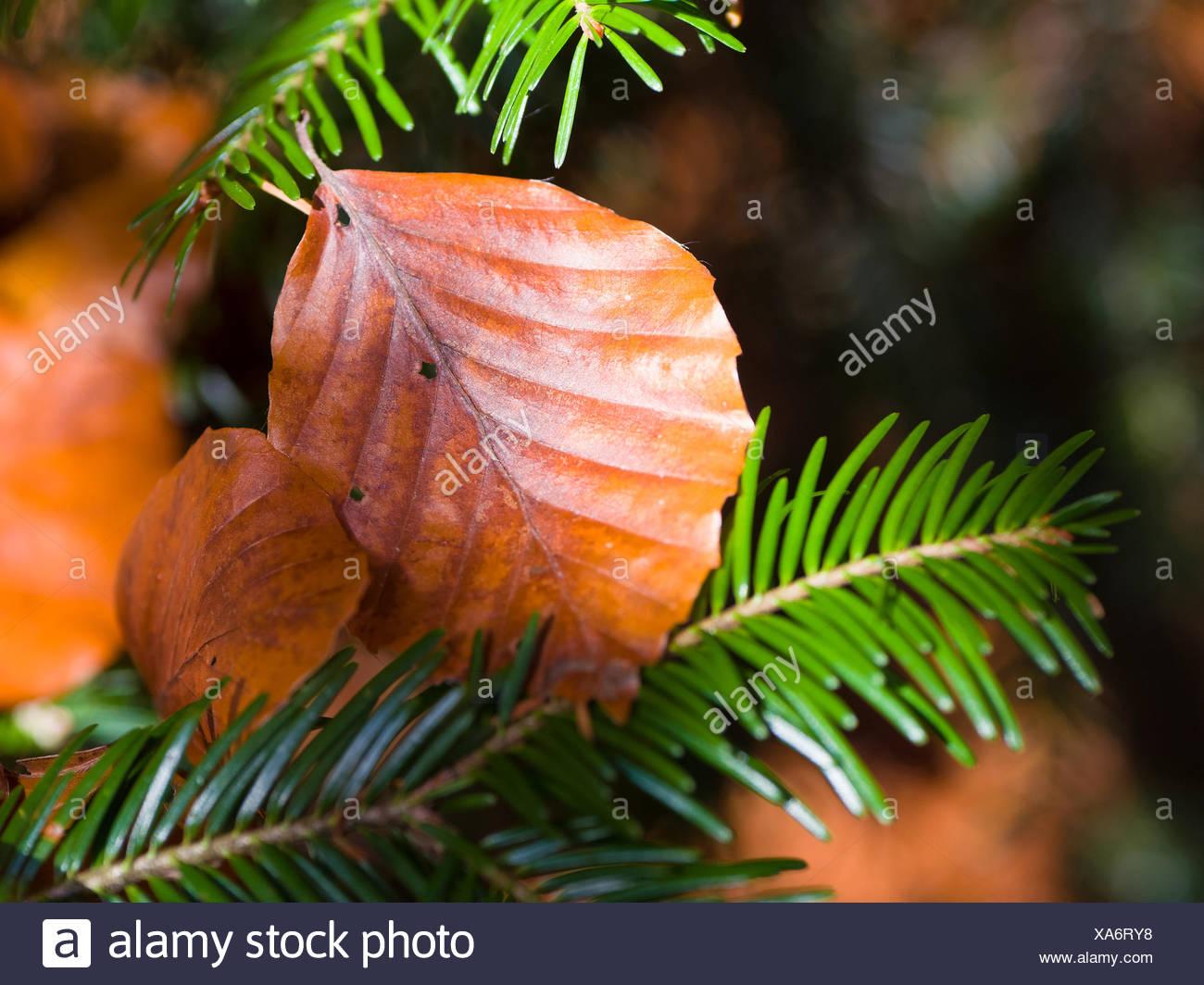 Beech sheet on fir branch - Stock Image