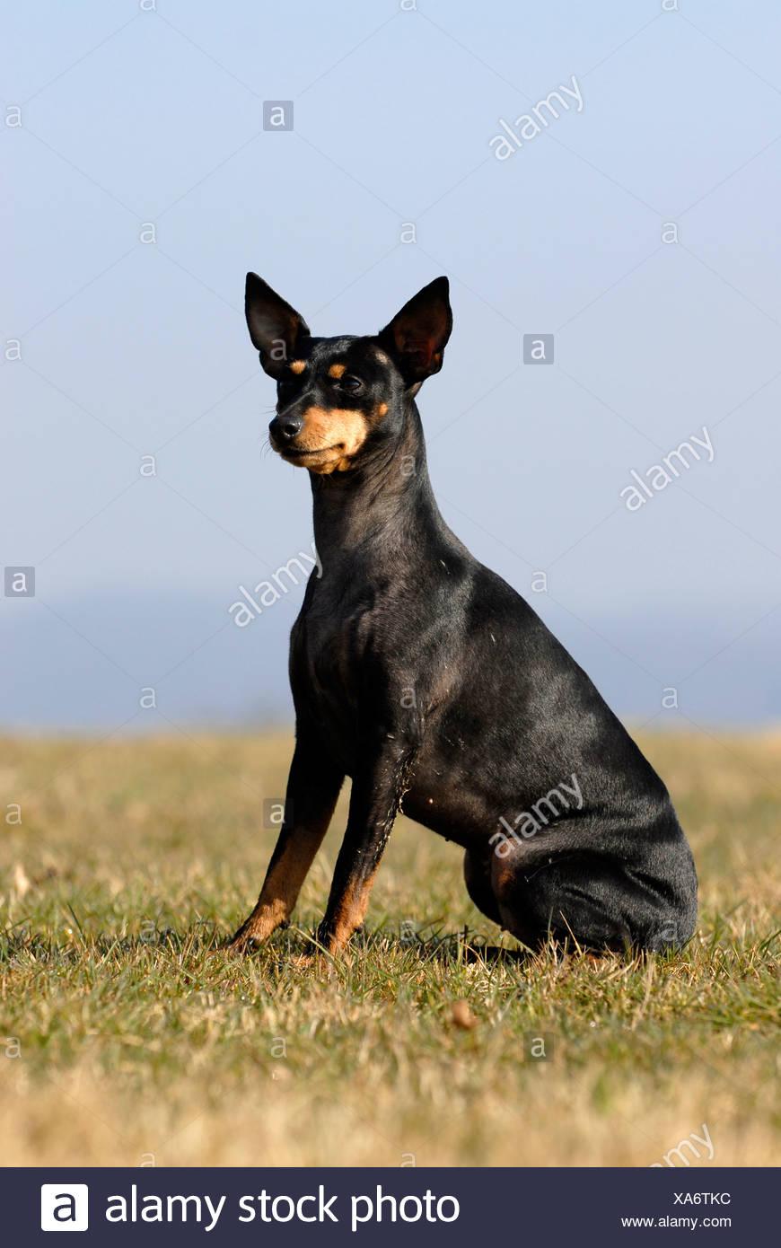 Engelsk toy terrier