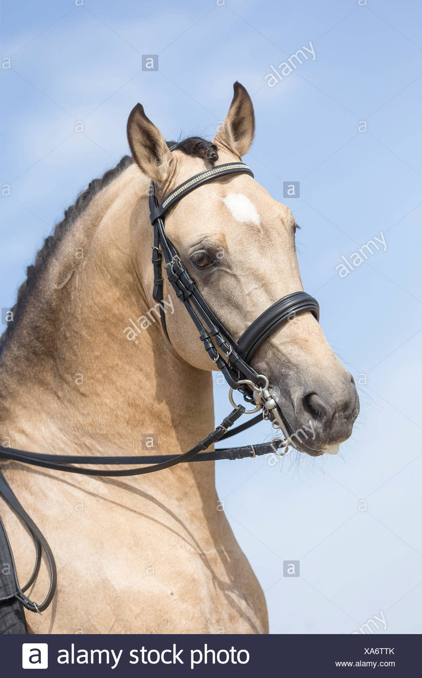 Lusitano. Portrait of dun stallion with tack. Portugal - Stock Image