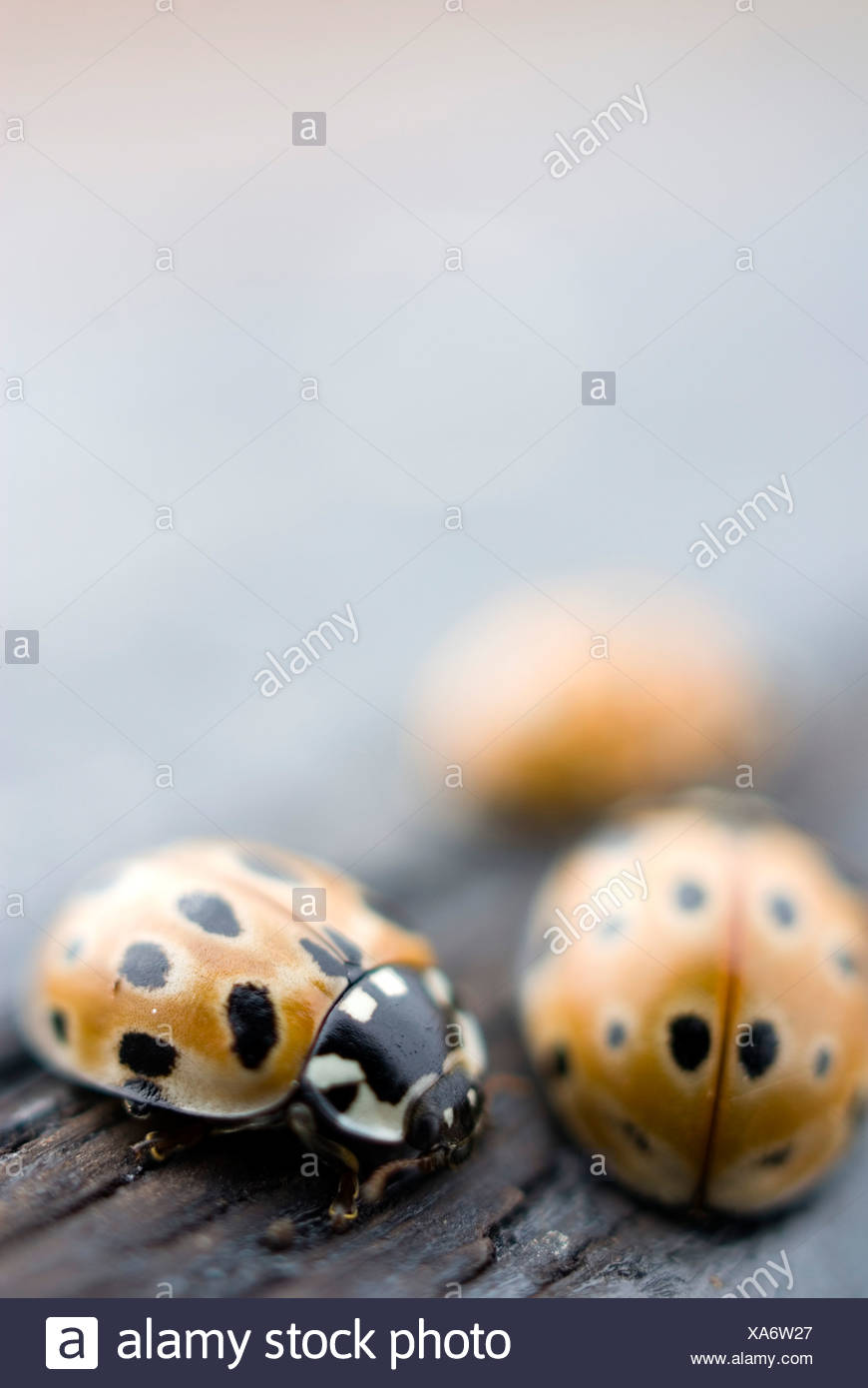 Close-up of three lady bugs - Stock Image