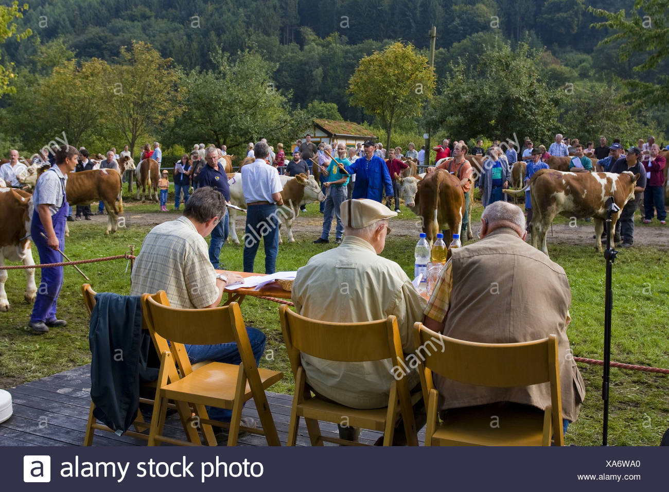 domestic cattle (Bos primigenius f. taurus), cattle vendue at the Kuckucksmarkt, Eberbach, Germany, Baden-Wuerttemberg, Eberbach - Stock Image