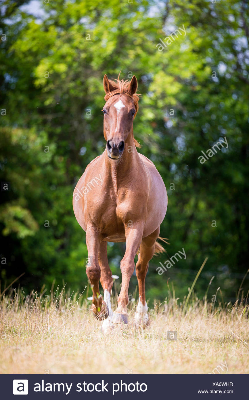 Hessian Warmblood. Chestnut mare galloping on a pasture. Germany - Stock Image