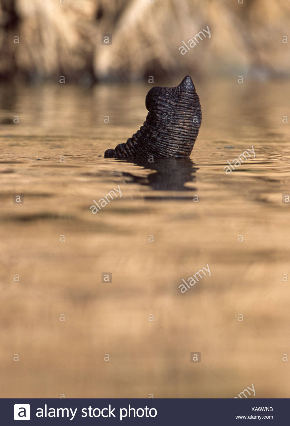 ELEPHANT trunk in water - Stock Image