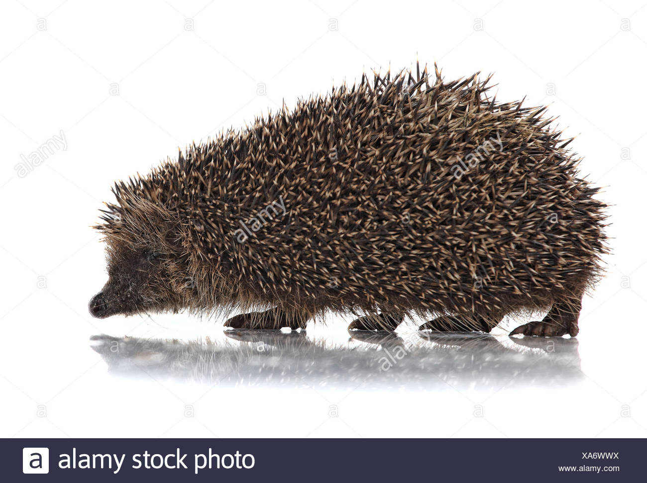 cute hodgehog on white - Stock Image