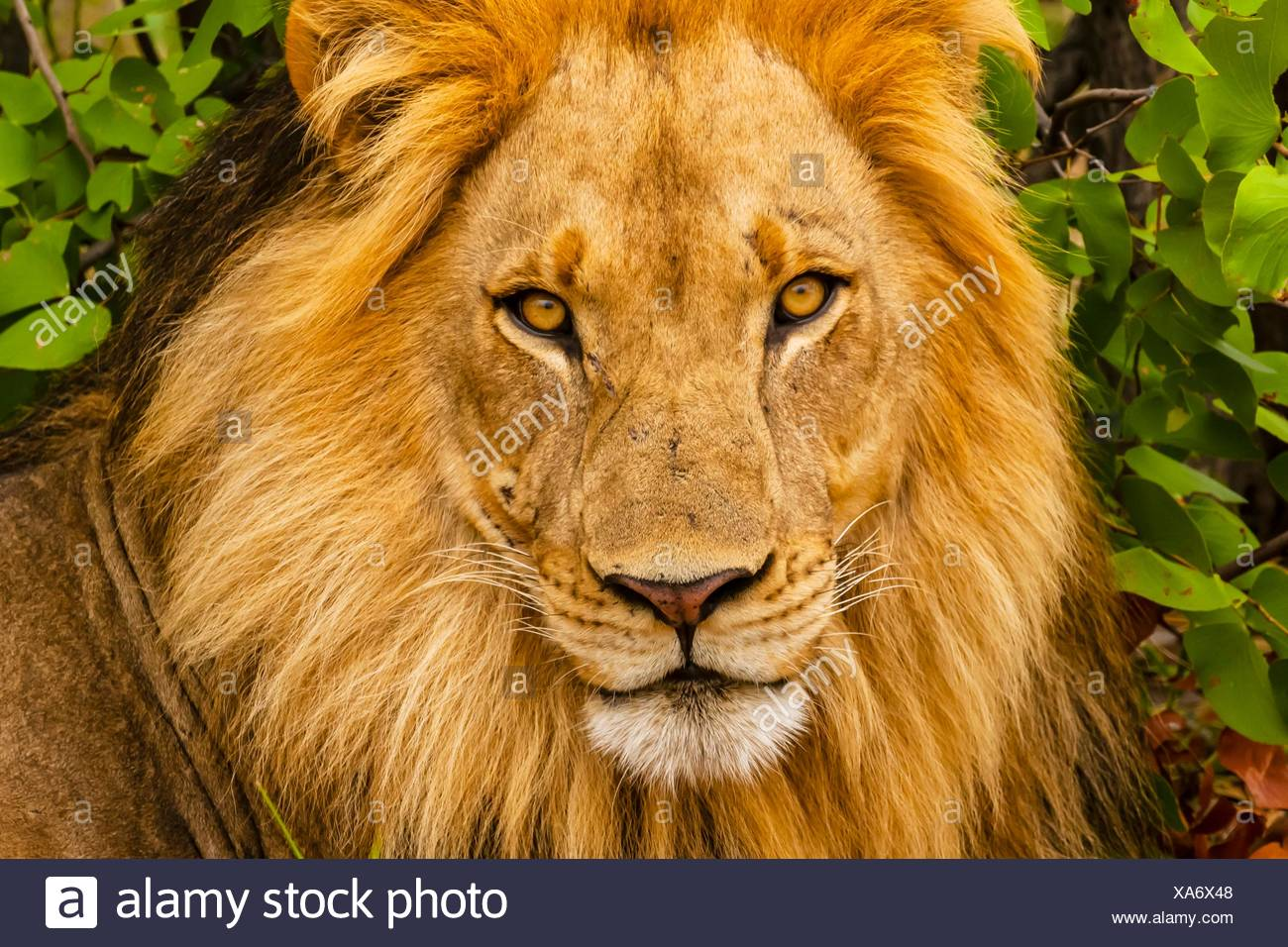 A male lion in the Linyanti Marshes, Botswana. Stock Photo