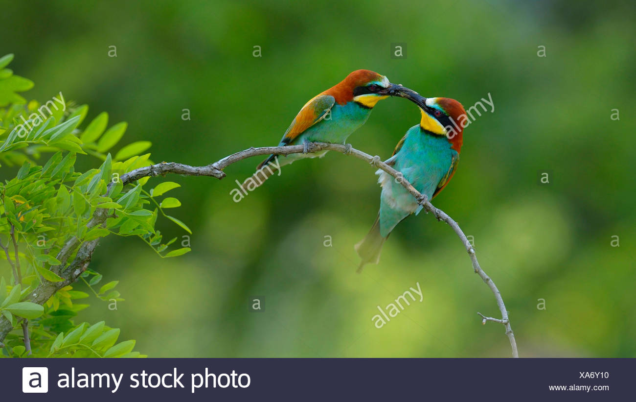European bee eater (Merops apiaster), handing a present, Hungary - Stock Image
