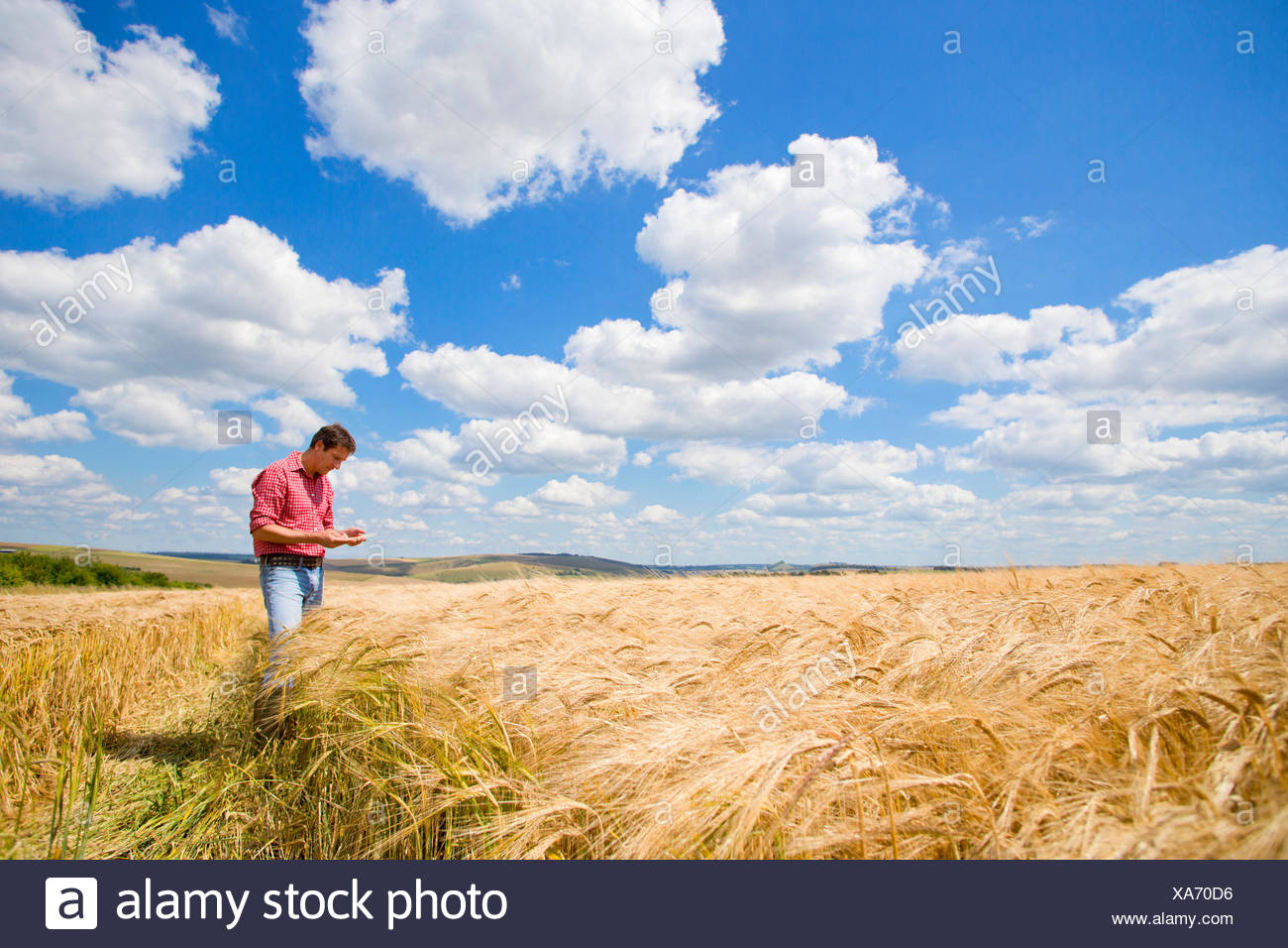 Farmer examining sunny rural barley crop field in summer - Stock Image