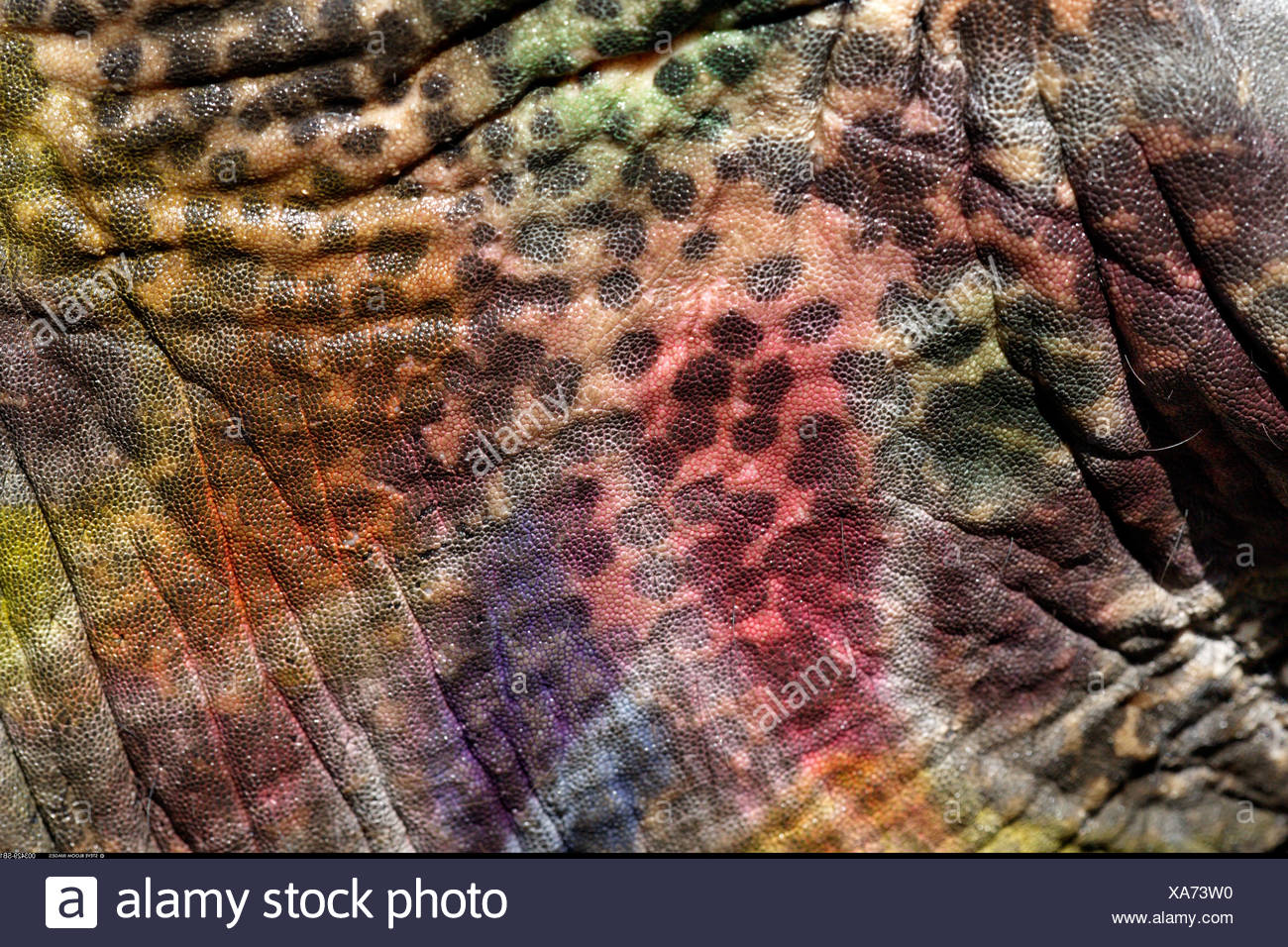 Elephant s skin covered with fading paint after the Elephant Festival Jaipur India - Stock Image