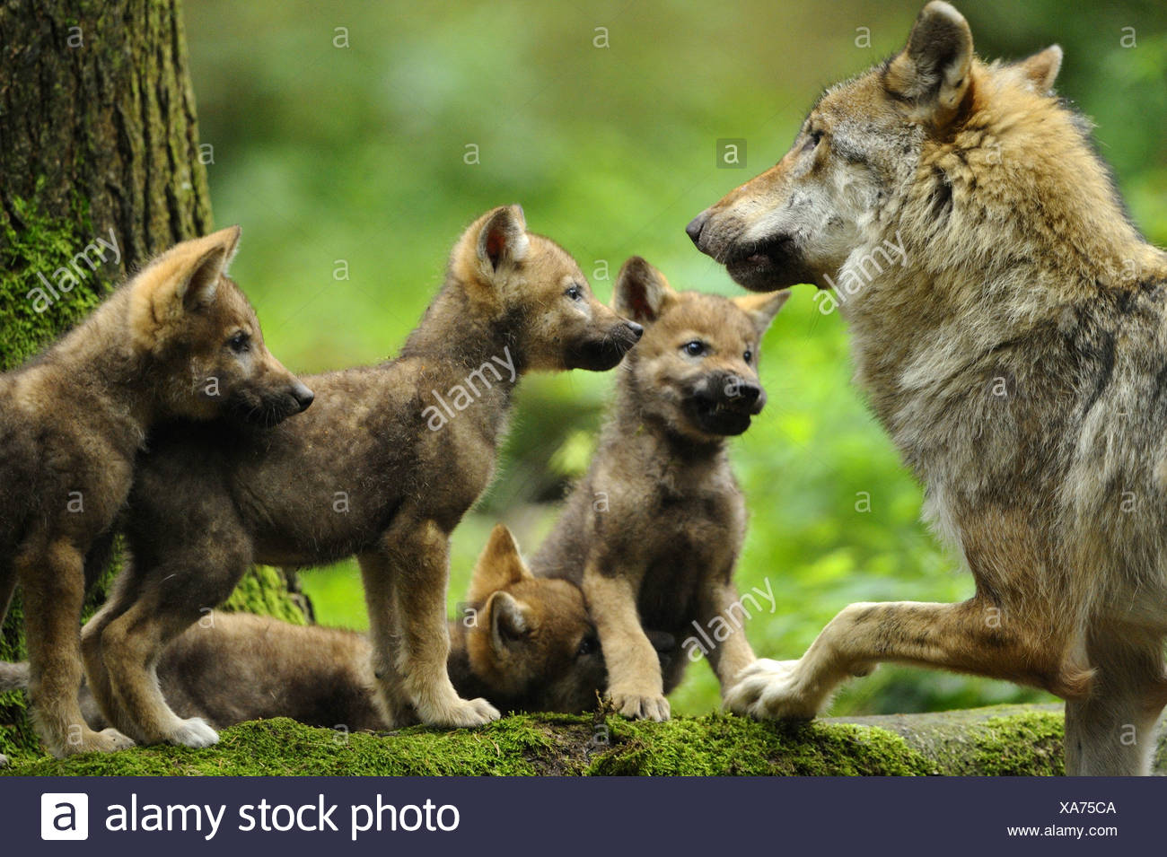 European gray wolf (Canis lupus lupus), she-wolf and wolf cubs, Germany, Bavaria, Bavarian Forest National Park - Stock Image
