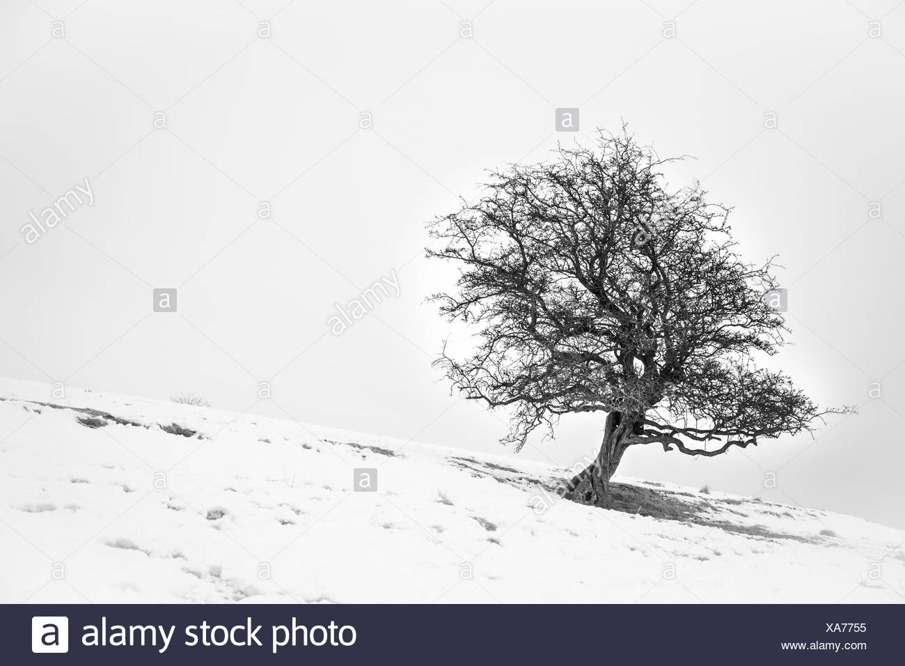 single lone hawthorn on a snowy hillside - Stock Image