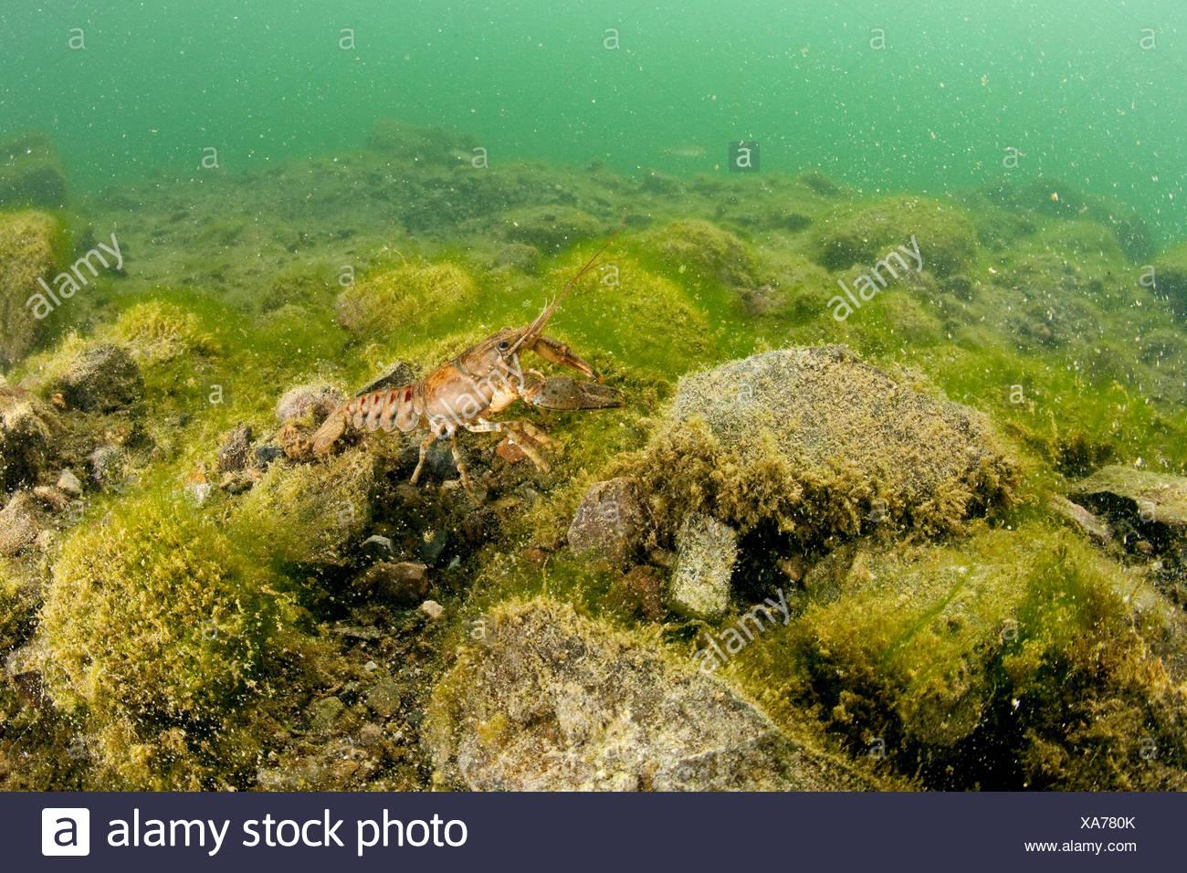 Crayfish in Lake, Orconectes limosus, Lake Lugano, Ticino, Switzerland - Stock Image