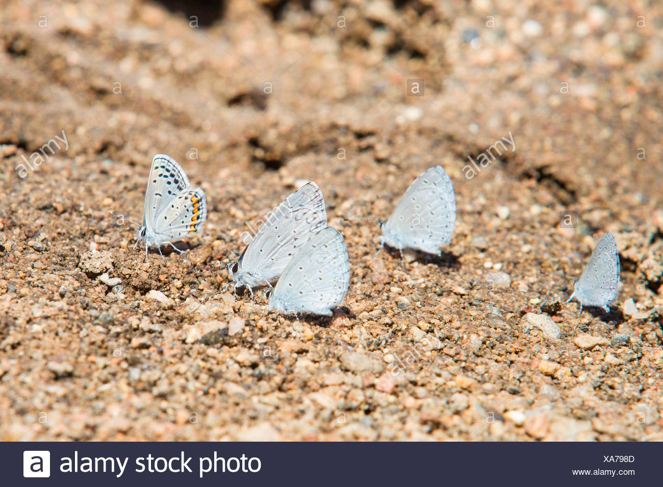 Holly Blue, Holly-Blue (Celastrina argiolus echo, Celestrina argiolus echo, Cyaniris argiolus echo, Lycaena argiolus echo), group with Hemiargus isola alce sucking off mineral salts , USA, Arizona, Verde River - Stock Image